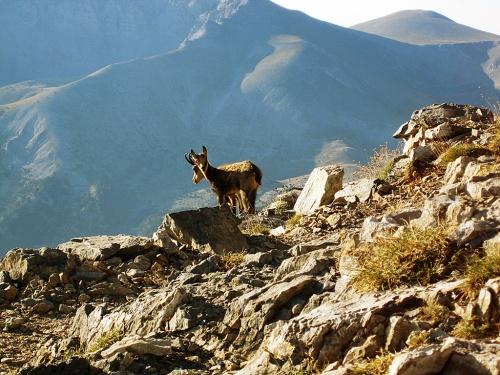 Wild goats near the peak of Olympus.