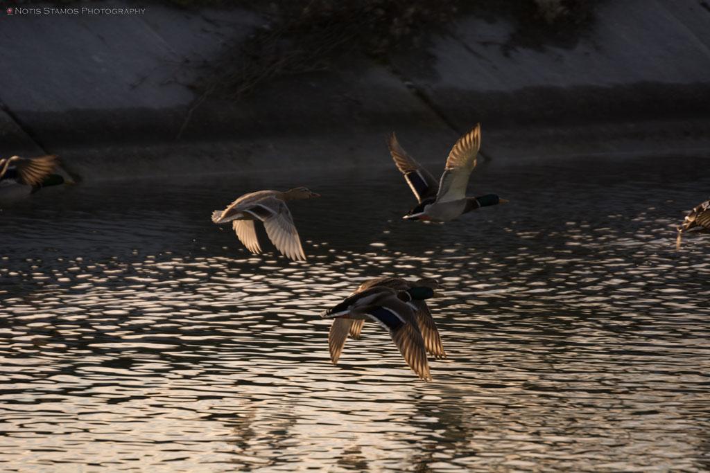 Geese-on-the-run-orig--NotisStamos-1024