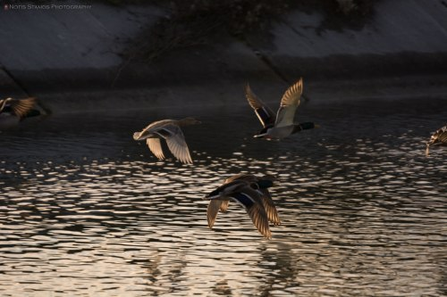 Nice geese in flight against an ugly background