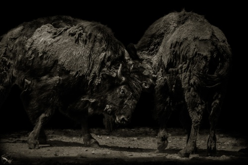 Bulls, Buffalo, Fight, Training, Animal, Wildlife, Portrait