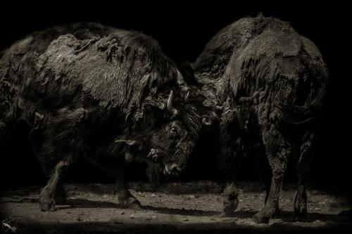 Bulls, Buffalo, Fight, Training, Animal, Wildlife, Portrait