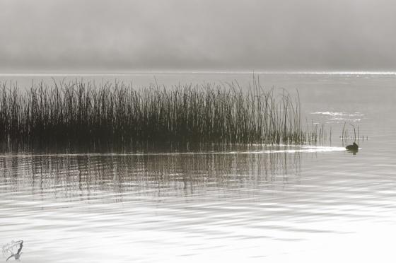 Duck, Swim, Lake, Reeds, Fog, Miist, Sunrise, Tegernsee, Bayern, Notis Stamos