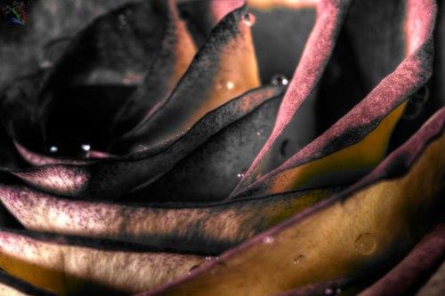 Rose, Fine art, Notis Stamos, B&W