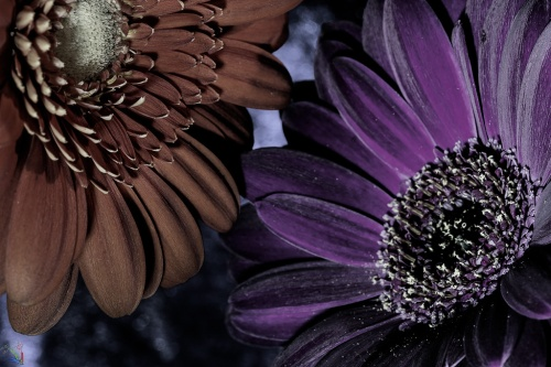 Flowers, Macro, NotisStamos