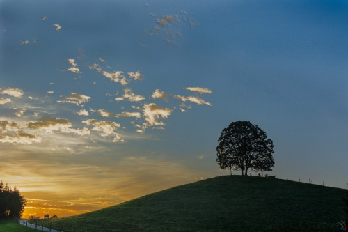 Sunset, hill, tree, cows, Notis Stamos
