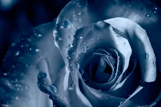 Rose, Waterdrops, Blue, Notis Stamos, macro