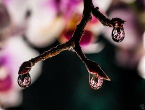 Water drops, Orchid, Flower, Macro, Notis Stamos