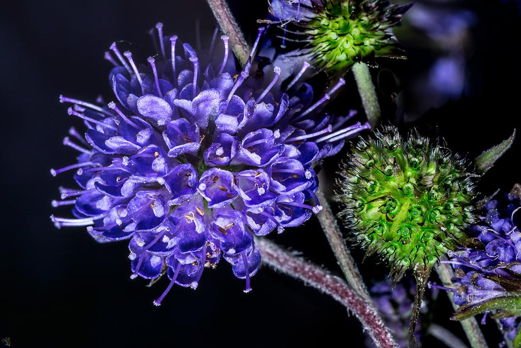 Macro, Flowers, purple, Notis Stamos