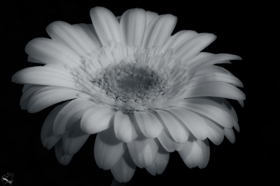 Flower, Notis Stamos, Lily, B&W